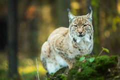 Eurasian Lynx (Lynx lynx). Cute Eurasian Lynx (Lynx lynx Stock Images