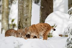 Eurasian lynx Lynx lynx. Family, mother with two kittens, in the snow in the animal enclosure in the Bavarian Forest National Park, Bavaria, Germany Royalty Free Stock Photos