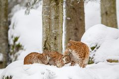 Eurasian lynx Lynx lynx. Family, mother with two kittens, in the snow in the animal enclosure in the Bavarian Forest National Park, Bavaria, Germany Royalty Free Stock Photo