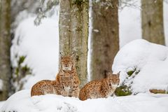 Eurasian lynx Lynx lynx. Family, mother with two kittens, in the snow in the animal enclosure in the Bavarian Forest National Park, Bavaria, Germany Royalty Free Stock Images