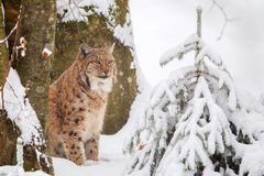 Eurasian lynx Lynx lynx. In the snow in the animal enclosure in the Bavarian Forest National Park, Bavaria, Germany Royalty Free Stock Images