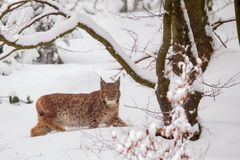 Eurasian lynx Lynx lynx. In the snow in the animal enclosure in the Bavarian Forest National Park, Bavaria, Germany Stock Photos