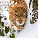 Eurasian lynx Lynx lynx. In the snow in the animal enclosure in the Bavarian Forest National Park, Bavaria, Germany Stock Image