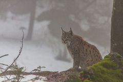 Eurasian lynx (Lynx lynx) in the fog Royalty Free Stock Photo