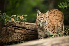 Eurasian Lynx (Lynx lynx) Royalty Free Stock Photos
