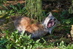 Eurasian lynx (Lynx lynx) Royalty Free Stock Photo
