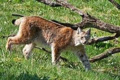 Eurasian lynx (Lynx lynx) Stock Images