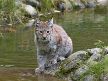 Eurasian lynx Lynx lynx. Juvenile eurasian lynx resting on a rock with water and vegetation in the background Royalty Free Stock Photo
