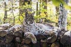 Eurasian lynx lynx lynx. Portrait of an eurasian lynx lynx lynx who is lying on a log pile in the woods Royalty Free Stock Photos