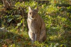 Eurasian Lynx, lynx lynx A Predator. stock photo