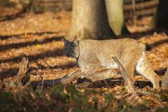 Eurasian Lynx, lynx lynx A Predator. royalty free stock images