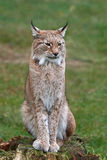 Eurasian lynx Lynx lynx. Eurasian lynx resting with vegetation in the background Royalty Free Stock Image