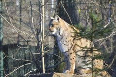 Eurasian lynx, or Lynx lynx. Sitting Eurasian lynx Lynx lynx in the winter. In Zagreb Zoo, Croatia Stock Photo