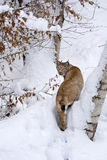 Eurasian lynx (Lynx lynx) in the snow. The Eurasian lynx (Lynx lynx) is a medium-sized cat native to European and Siberian forests, where it is one of the Royalty Free Stock Images
