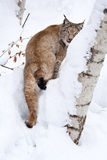 Eurasian lynx (Lynx lynx) in the snow. The Eurasian lynx is the biggest of the lynxes, ranging in length from 81 to 129 cm (32 to 51 in) and standing about 70 cm Royalty Free Stock Image