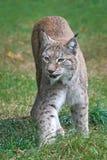 Eurasian lynx Lynx lynx Royalty Free Stock Photography