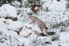 Eurasian Lynx Lynx lynx walking quietly in snow Stock Photography