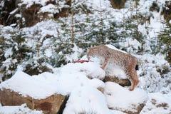 Eurasian Lynx Lynx lynx walking quietly in snow Royalty Free Stock Photos