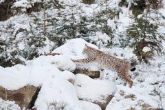 Eurasian Lynx Lynx lynx walking quietly in snow Stock Images