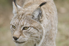 Eurasian lynx, Lynx lynx Stock Photos