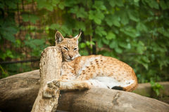 Eurasian Lynx Lynx lynx Royalty Free Stock Photos