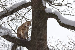 Eurasian lynx (Lynx lynxs) licking his chops. A Lynx on the branch of a snowy tree, looks toward the camera and he licks his whiskers royalty free stock photography