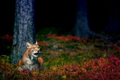 Eurasian lynx. In magical colorful ground in the forest Stock Image