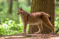 Eurasian Lynx. The Eurasian lynx (Lynx lynx) is a medium-sized cat native to European and Siberian forests Stock Image