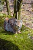 Eurasian lynx on moth stone in forest Stock Photos