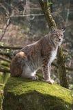Eurasian lynx on moth stone in forest Stock Photo