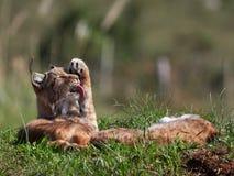 Eurasian Lynx outdoo habitat lynx lynx. Eurasian Lynx outdoor; Wild animal hidden in nature habitat lynx lynx Stock Photo