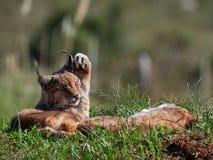 Eurasian Lynx outdoo habitat lynx lynx. Eurasian Lynx outdoor; Wild animal hidden in nature habitat lynx lynx Stock Photos