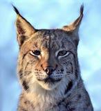 Eurasian Lynx. Photograph of a Eurasian Lynx Royalty Free Stock Photo
