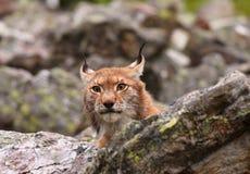 Eurasian Lynx Stock Image