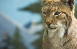 Eurasian lynx portrait Royalty Free Stock Photos