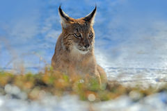 Eurasian Lynx, portrait of on snow in winter Stock Photos