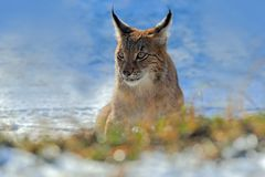 Eurasian Lynx, portrait of on snow in winter stock photo