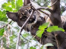 Eurasian Lynx, portrait of wild cat hidden in the branches of trees. Wild animal hidden in nature habitat. Lynx between two tree trunks. Head portrait of lynx Stock Photos