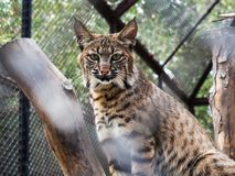 Eurasian Lynx, portrait of wild cat hidden in the branches of trees. Wild animal hidden in nature habitat. Lynx between two tree trunks. Head portrait of lynx Royalty Free Stock Image