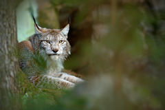 Eurasian Lynx, portrait of wild cat hidden in forest at rock mountain beautiful animal in the nature habitat, Sweden. Detail portr. Ait of bird Stock Photos