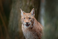 Eurasian Lynx, portrait of wild cat hidden in forest at rock mountain beautiful animal in the nature habitat, Sweden. Detail portr. Ait of wild cat Stock Images