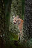 Eurasian Lynx, portrait of wild cat hidden between tree trunks. Wild animal hidden in nature habitat, Germany. Lynx between two tr Stock Images