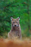 Eurasian Lynx, portrait of wild cat sitting green forest. Eurasian Lynx, portrait of wild cat sitting green Royalty Free Stock Photo