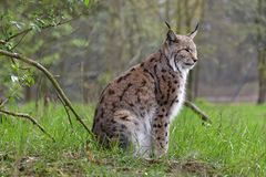 Eurasian lynx in the rain. In the forest Royalty Free Stock Photos