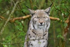 Eurasian lynx in the rain. In the forest Royalty Free Stock Image