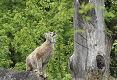 Eurasian Lynx ready to jump Stock Images