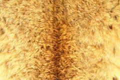 Eurasian lynx real hair texture Royalty Free Stock Photos
