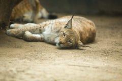 Eurasian lynx resting Royalty Free Stock Image