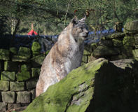 Eurasian lynx on rock Royalty Free Stock Photos