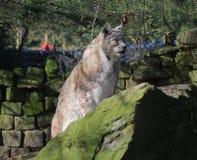 Eurasian lynx on rock Royalty Free Stock Photos